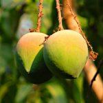 Carbide Free Mangoes